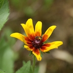 Wildbiene an Prächtiger Sonnenhut