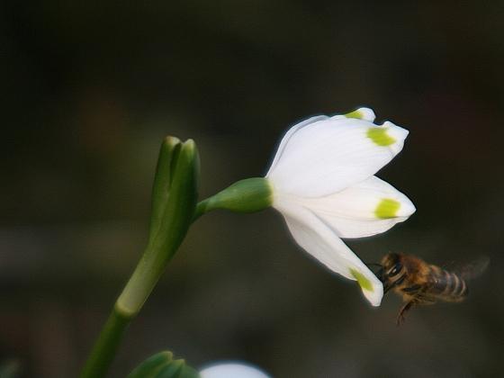 Biene an Märzenbecher