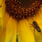 Pollensammlerin fliegt Sonnenblume an