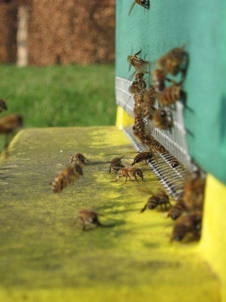 Meine fleissigen Bienchen im Frühling `07 ( dieses spezielle Volk war `07 der absolute Renner bzgl. Vitalität, Sanftmut und Ertrag, leider weiselte es im Spätsommer um)