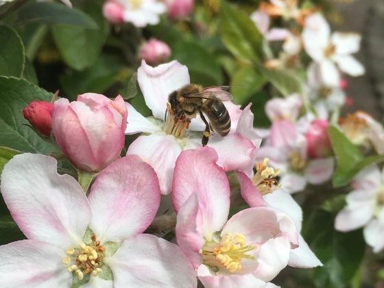 Biene auf Apfelblüte