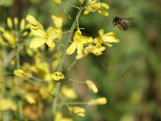 Wildbiene fliegt Winterkohl an