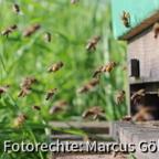 starkerbienenflughttp://www.imkerforum.de/album.php?albumid=180&attachmentid=6151