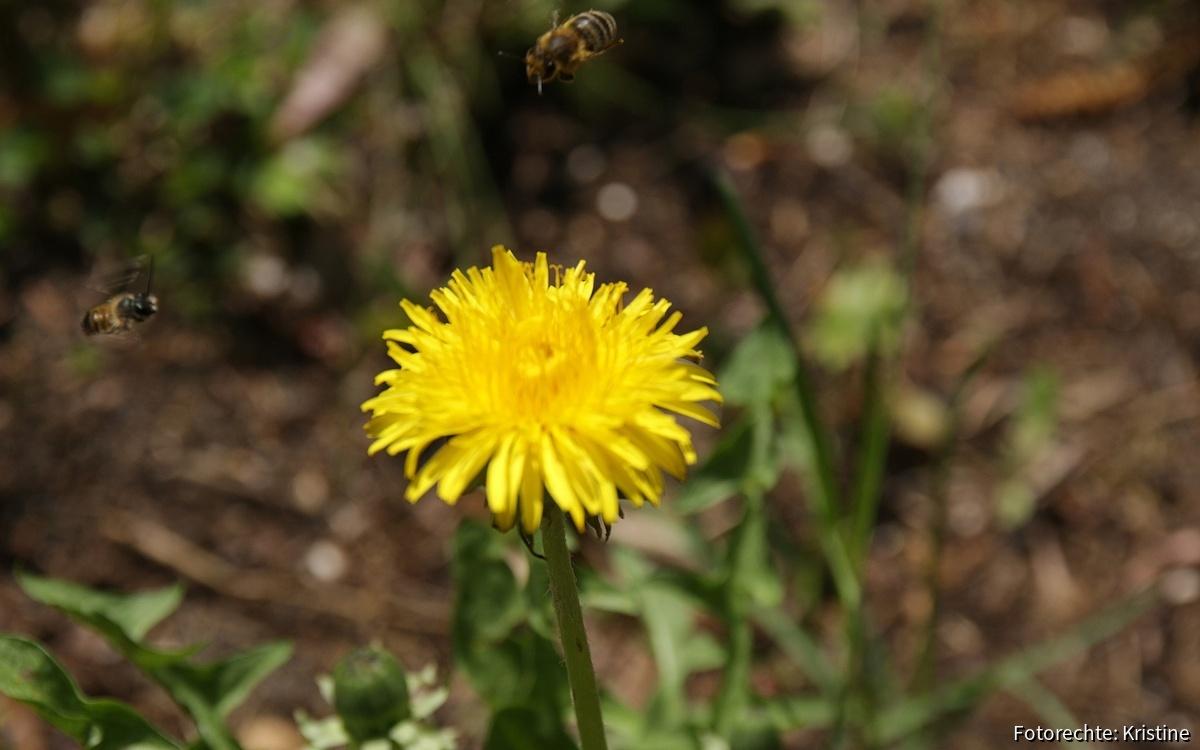 Biene fliegt und Wildbiene ebenso