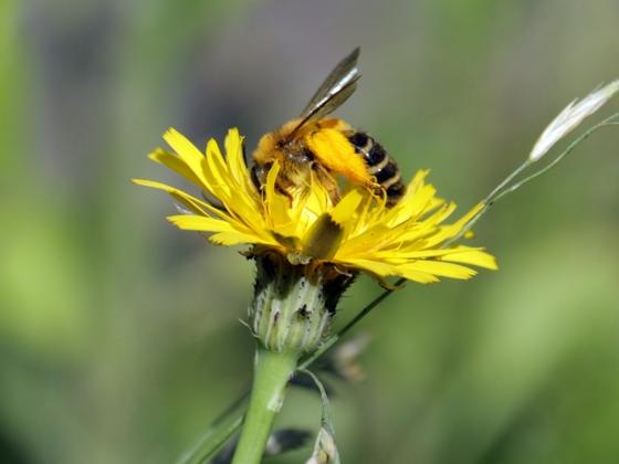 Wildbiene am Wiesenpippau