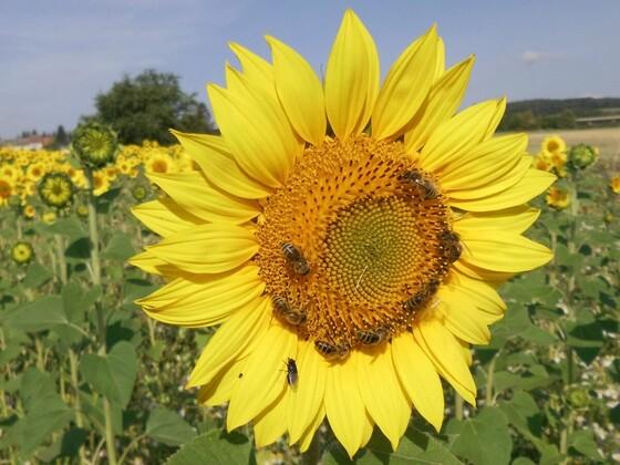 7 Bienen auf der Sonnenblume