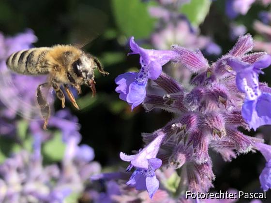 Honigbiene auf Nektarernte