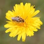 Wildbiene an Wiesenpippau oder Löwenzahn