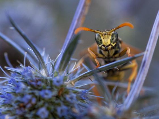Wespe guckt in die Röhre