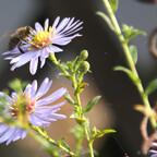Biene an Herbstaster