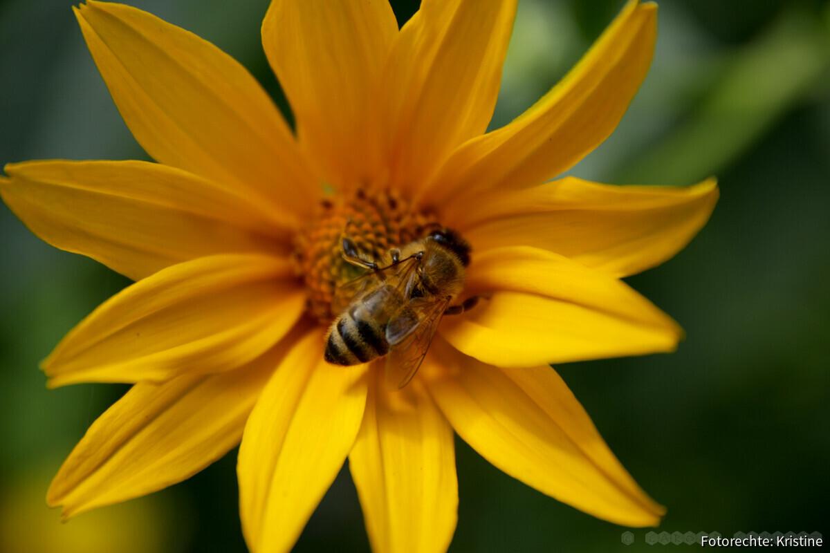 Biene an Sonnenauge