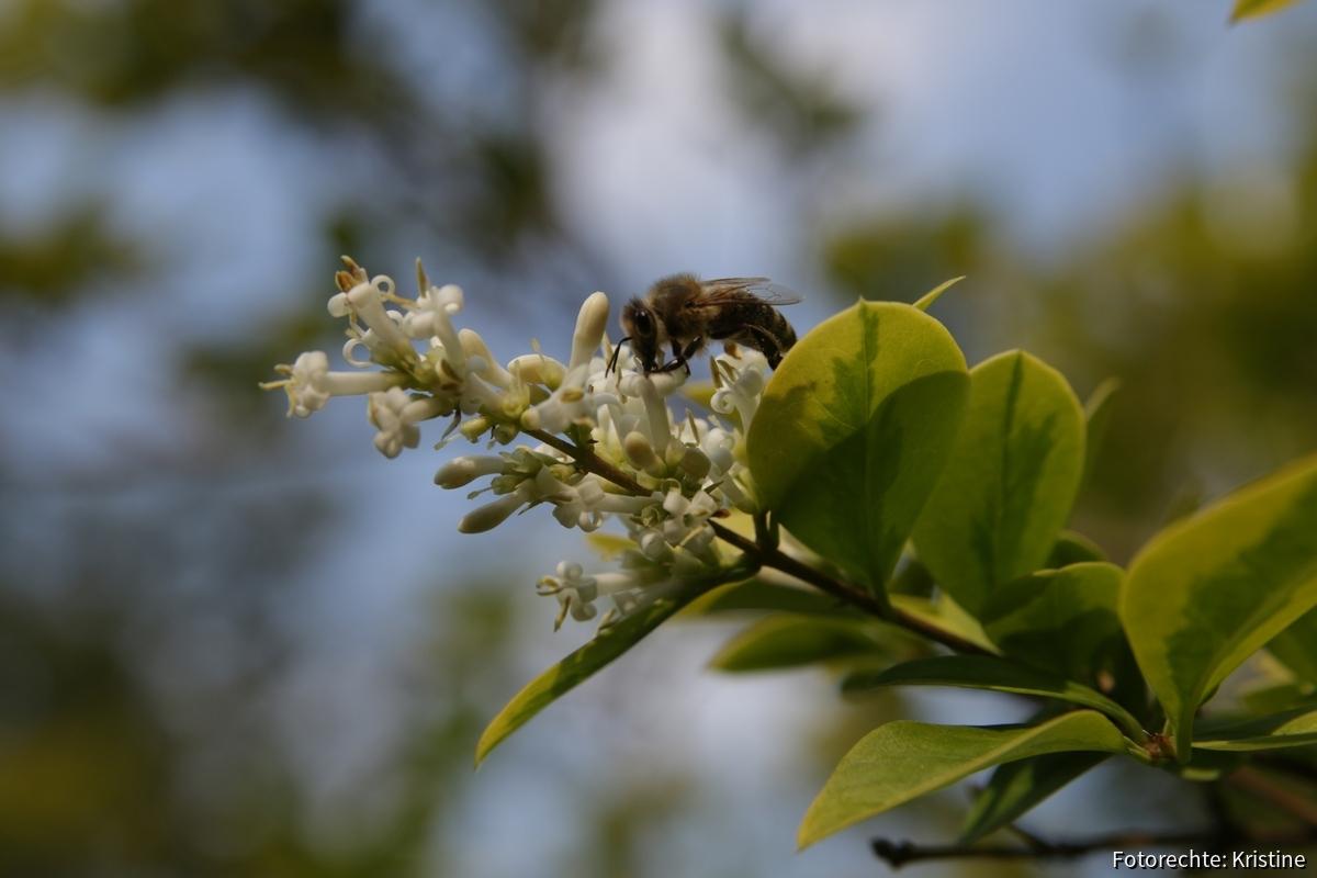 Biene an Liguster