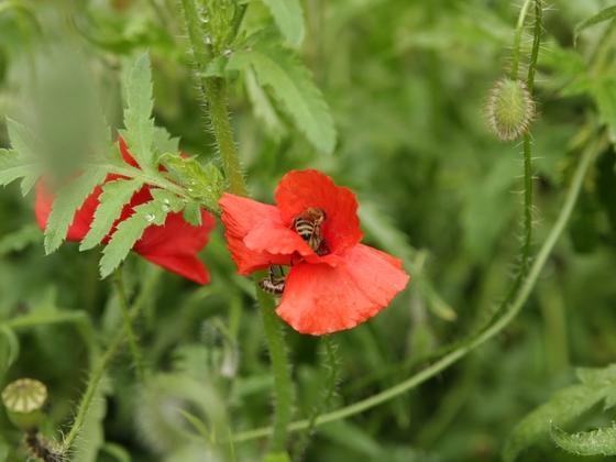 Bienen an Mohn