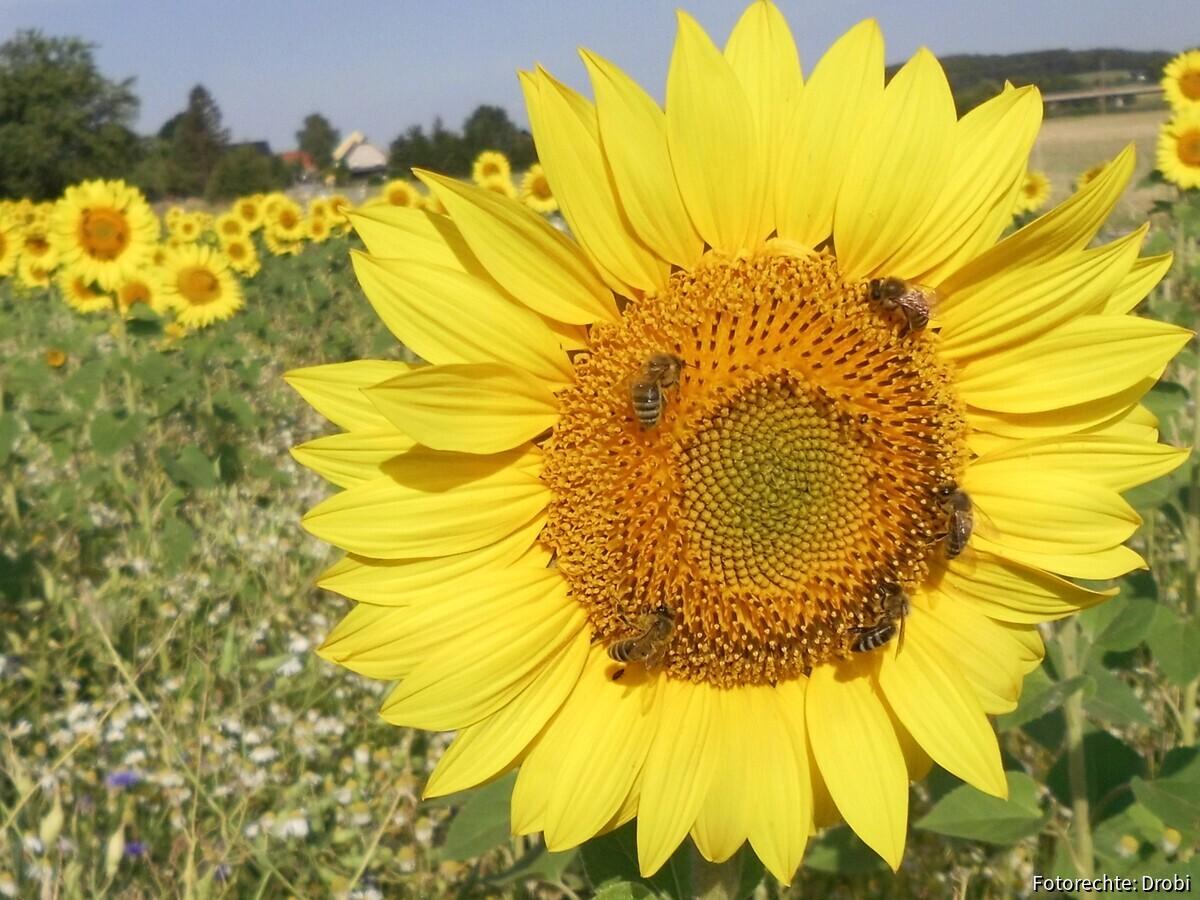 Sonnenblumenfeld ist gut von Bienen besucht
