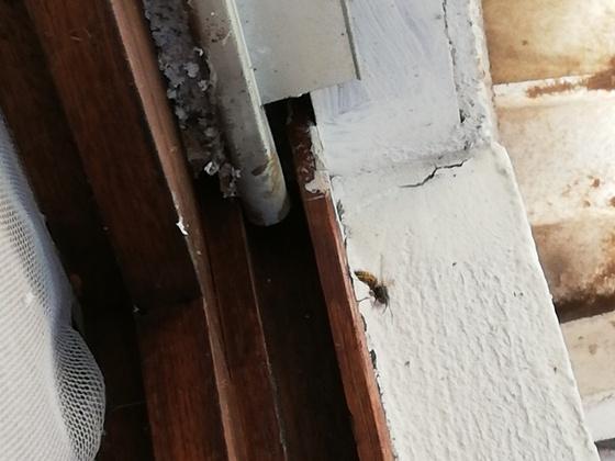 Biene oder Hornisse?